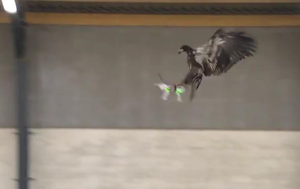 L'aigle interceptant un drone