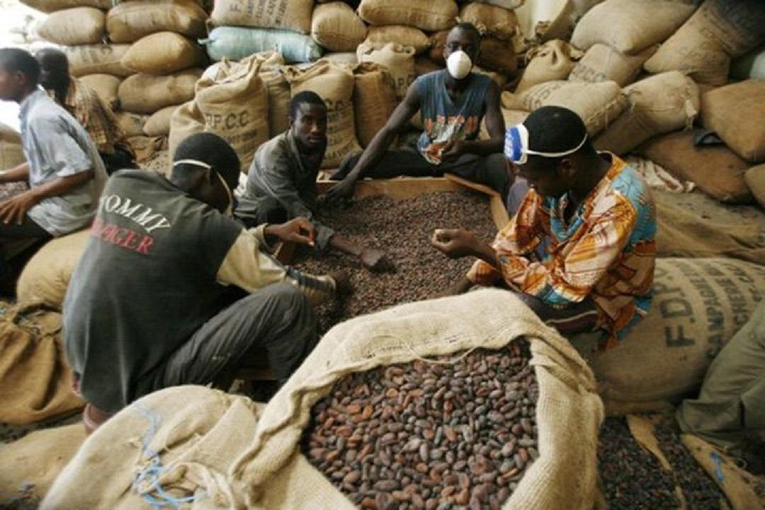 Producteurs ivoiriens de cacao